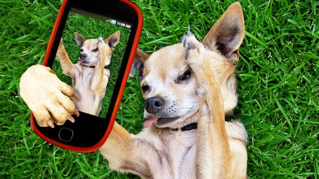 a-cute-chihuahua-in-the-grass-taking-a-selfie-on-a-cell-phone-_20180927-085256_1